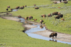 Bison herd near a water source. Stock Photography