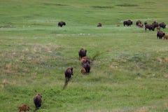 Bison Herd op een Sleep royalty-vrije stock fotografie