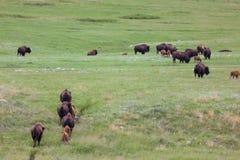 Bison Herd op een Sleep stock foto
