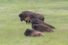 Bison Herd på slättarna royaltyfri fotografi