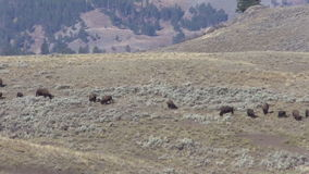 Bison Herd Pan stock footage