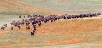 Bison Herd. Panoramic Composition Of Bison Herd Roundup At Custer State Park, South Dakota Royalty Free Stock Photo