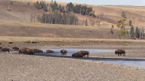 Bison Herd in River Zoom Out stock video