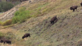 Bison Herd Running Down Hill stock videobeelden