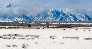 Bison herd in the Snow, Grand Teton National Park Royalty Free Stock Images