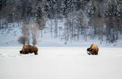 Bison herd in the Snow, Grand Teton National Park Stock Images