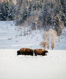Bison herd in the Snow, Grand Teton National Park Royalty Free Stock Image