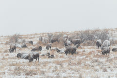 Bison Herd in snowstorm Royalty Free Stock Photo