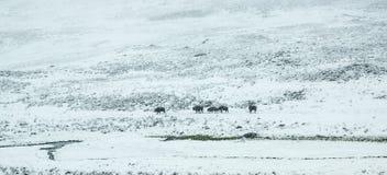 Bison Herd in Spring Snow Storm Stock Images