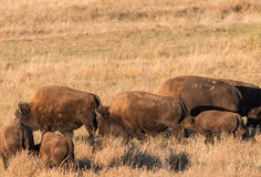 Bison Herd Stock Photo