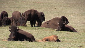 Bison Herd in Weide stock footage