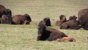 Bison Herd in Weide stock videobeelden