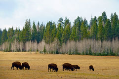 Bison herd on the yellowish autumn field. With a forest on the background Royalty Free Stock Image