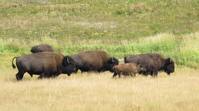 Bison Herd Yellowstone nationalpark Arkivfoto