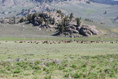 Bison Herd at Yellowstone. Nice natural group photo in Lamar Valley of Yellowstone National Park Royalty Free Stock Images