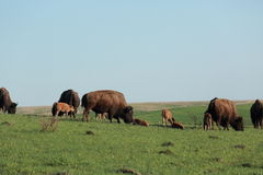 Bison herd with young Stock Image