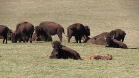 Bison Herd Zoom Out stock video footage
