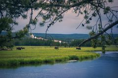 Free Bison Herds In Yellowstone National Park, USA Stock Images - 137399474