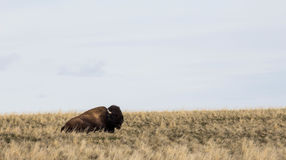 Bison on a hill Stock Images