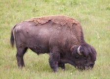 Bison hirsute frôlant dans le pré vert luxuriant Photographie stock