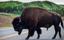 Bison. A huge and peaceful bison crossing a road Stock Images