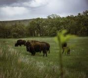 Bison i Custer royaltyfri fotografi