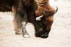 Bison i en zoo Arkivfoto