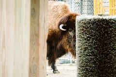 Bison i en zoo Arkivbilder