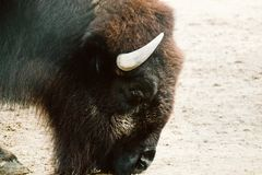 Bison i en zoo Arkivbild