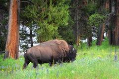Bison i fält av vildblommor Royaltyfri Bild