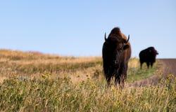 Bison i guld- ljus Royaltyfria Bilder
