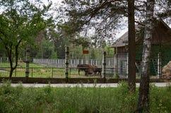 _ Bison i halvön i Belovezhskaya Pushcha Maj 23, 2017 arkivbild