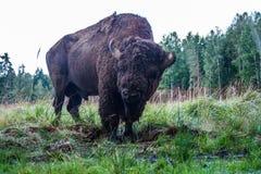 Bison i reserven på våren royaltyfria bilder