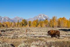 Bison i Tetonsen fotografering för bildbyråer