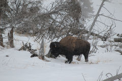 Bison i vinter i Yellowstone i snön royaltyfria bilder