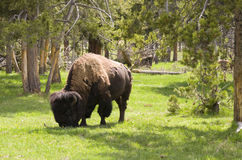 Bison im Holz Lizenzfreies Stockbild
