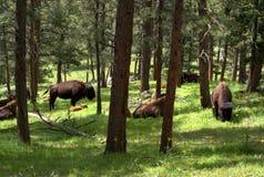 Bison im Holz Stockfotos