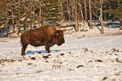 Bison im Schnee Lizenzfreies Stockfoto