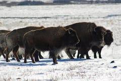 Bison im theCold Stockfotos