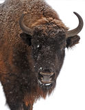 Bison im Winter stockbild