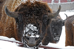 Bison im Winter stockfotografie