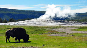Bison In Front Of A Steaming Old Faithful Stock Images