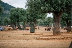 Free Bison In The Zoo In Fasano Apulia Safari Zoo Italy Royalty Free Stock Images - 117799899