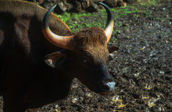 Bison indien - Gaur Image stock