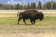 Bison inside Yellowstone royalty free stock photography