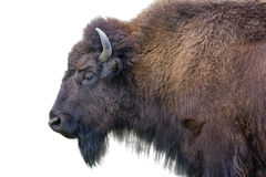 Bison Isolated adulto no branco Foto de Stock
