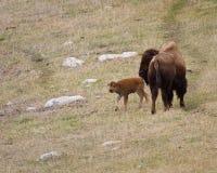 Bison-Kalb Stockfoto