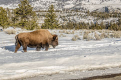 Bison Kicking Up Snow Stock Photography