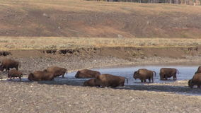 Bison in the Lamar River stock footage