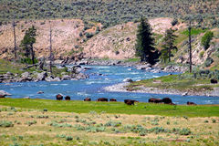Bison in Lamar River Valley Stock Photo